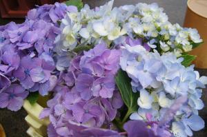 いろいろ紫陽花