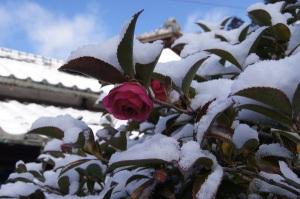 たくさん咲いた山茶花が埋もれてます。